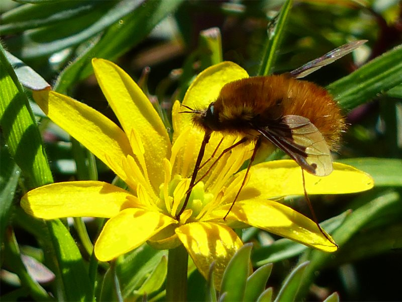 Dark-edged Bee-fly bee mimic supping nectar on Celandine. Photo: © 2015 Jo Cartmell.