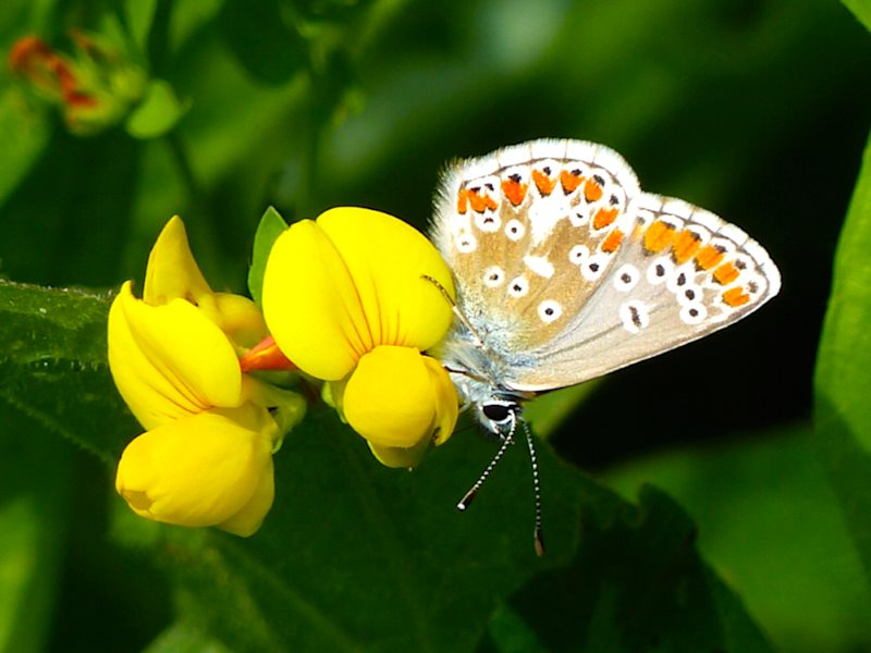 Female Common Blue butterfly supping nectar on Birdsfoot Trefoil. Photo: © 2015 Jo Cartmell.