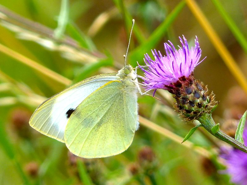 Large White Butterfly supping nectar on Common Knapweed. Photo: © 2015 Jo Cartmell.