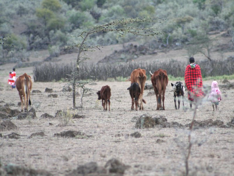 A Maasai family with their cattle in Suswa, Kenya. Photo: Simone Sarchi.