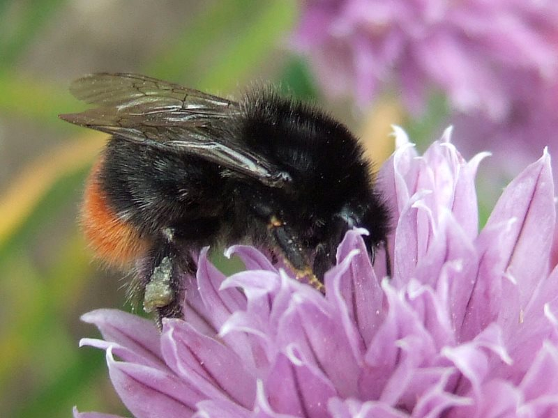 The red-tailed bumblebee is a piece of cake - velvety black with a bright red bottom. Photo: Dave Goulson.