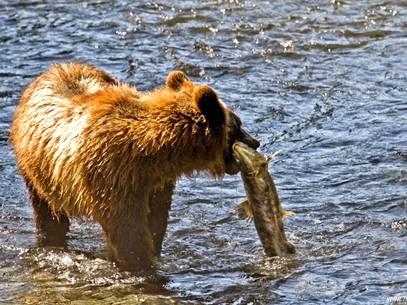Just think - get rid of the salmon, and you've done for the Grizzly bears as well, which depend on the annual salmon run to fatten up before their winter hibernation. Photo: Murray Feist via Flickr (CC BY-ND).