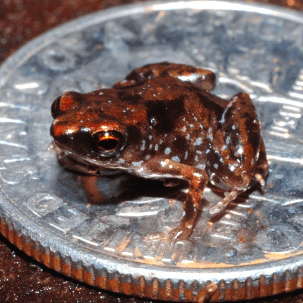 Small frog, or big coin? Paedophryne amauensis is still the record holder. Photo: Rittmeyer et al (CC BY-NC-SA).