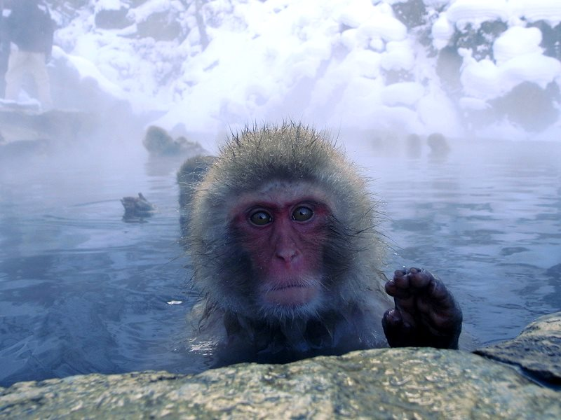 These 'snow monkeys' in Jigokudani, Japan, are being kept warm by geothermal heat. Photo: Stefan Powell via Fliclr (CC BY).