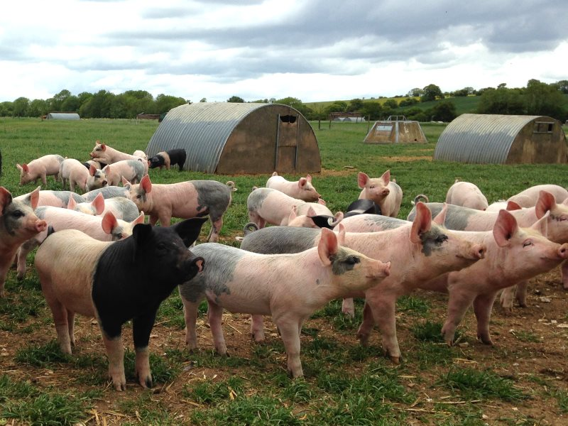 Happy outdoor pigs on Easterbrook Farm, an organic farm on the Berkshire Downs. Photo: Soil Association.