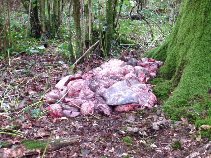 Offal dump apparently intended to attract foxes into the area to be hunted. Photo: League Against Cruel Sports.