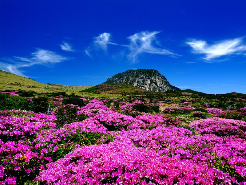 A sea of Azaleas on the mountain at the heart of Jeju's World Heritage Site. Photo: Republic of Korea via Flickr (CC BY-SA).
