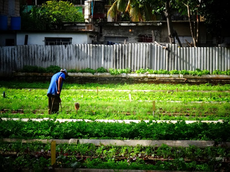 An urban farmer at work to the south of Avenida Paseo, Havana, Cuba. Photo: Javier Ignacio Acuña Ditzel via Flickr (CC BY).