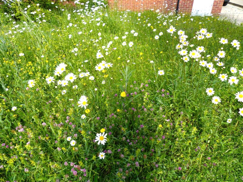 Jo's wild flower meadow in in June, dominated by Ox eye daisies. Photo: © 2015 Jo Cartmell.