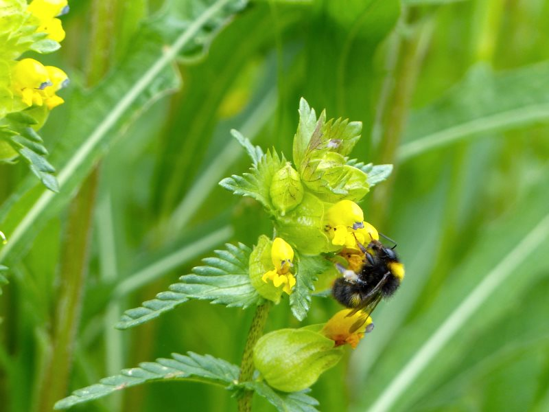 Bumblebee on Yellow Rattle in Jo's wild flower meadow, June. Photo: © 2015 Jo Cartmell.