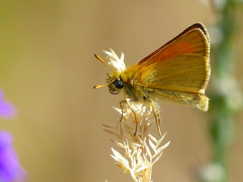 Essex Skipper butterfly with its distinctive black-tipped antennae. Photo:  © 2015 Jo Cartmell.