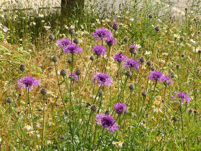Jo's mini-meadow this morning, in summer colours with a fine show of Greater Knapweed. Photo: © 2015 Jo Cartmell.