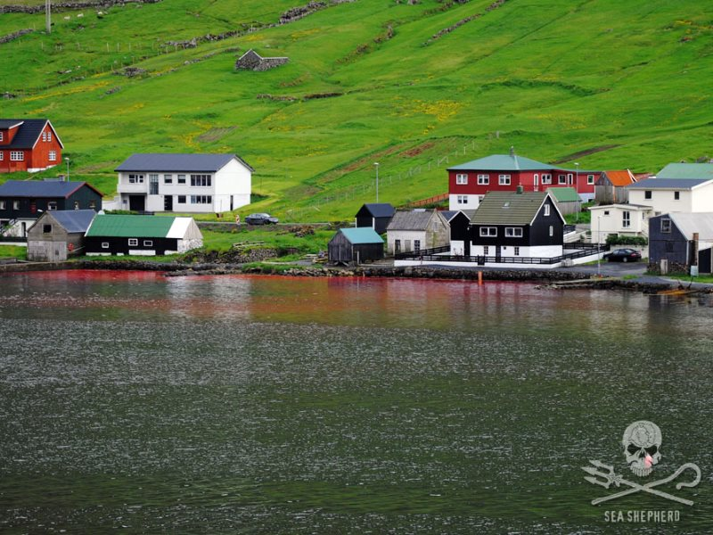 It looks so lovely ... apart from the blood in the water. Hvannasund, Faroe Islands. Photo: Rosie Kunneke / Sea Shepherd.