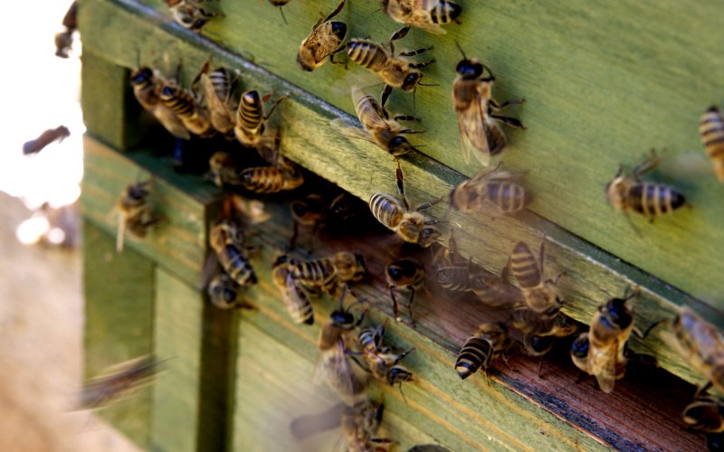 These German bees in Hermsdorf are the lucky ones, with an extension to the EU ban of neonicotinoids, Photo: Thomas Hubauer via Flickr (CC BY).