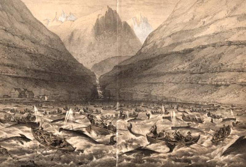 The Grindadrap in full swing at Vestmanna  in the Faroe Islands, 17th June 1854. Image: British Maria Expedition via Wikimedia Commons (Public Domain).