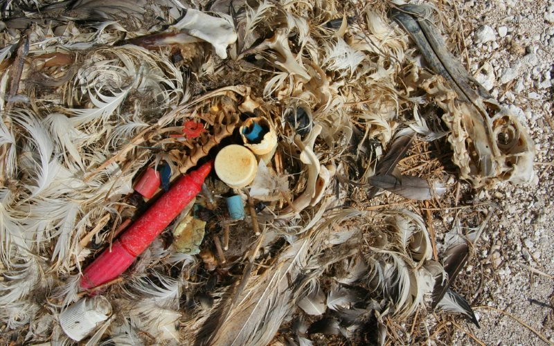 This Laysan Albatross chick starved to death because it's parents fed it too much plastic flotsam. Photo: Duncan via Flickr (CC BY-SA).