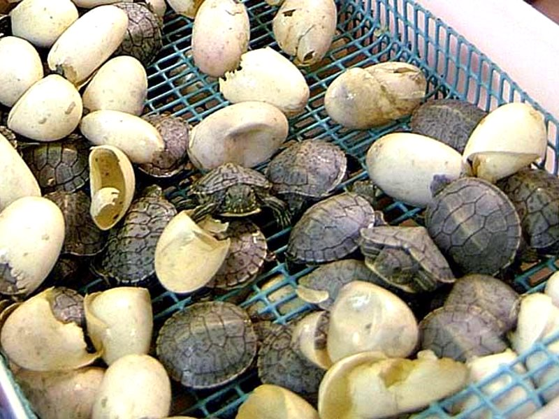 Baby turtles are captive-bred, but their parents are wild-caught. Photo: LSUAgCenter.