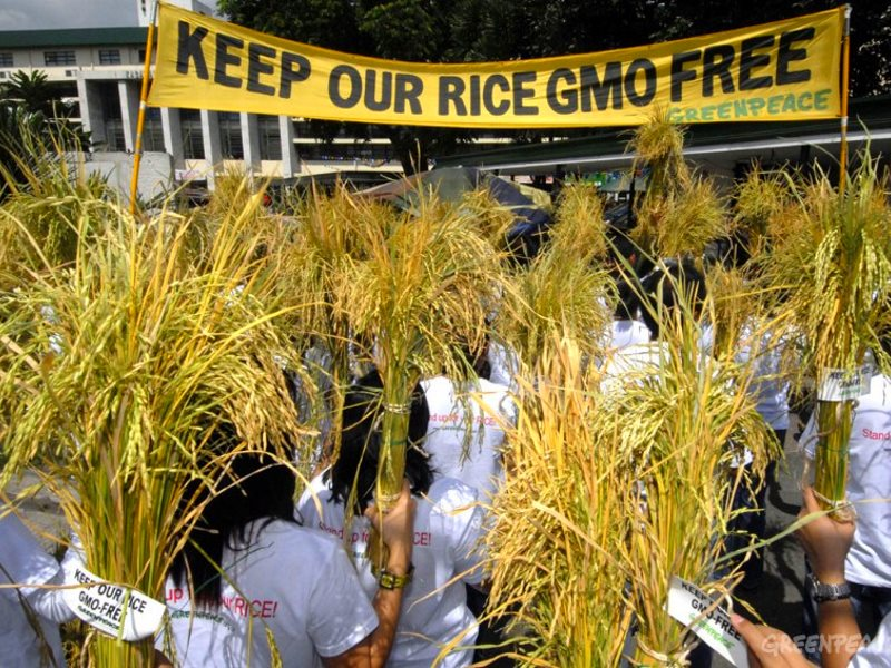 Greenpeace is widely blamed for blocking the use of Golden rice in the Philippines. But the real reason is the poor performance of the GMO varieties. Photo: Greenpeace Activists wave post-harvest rice stalks at the Philippine Department of Agriculture in