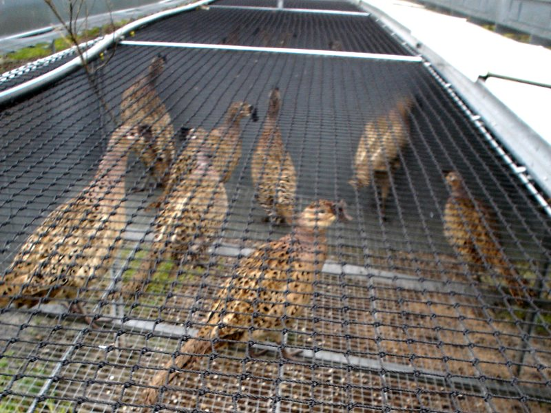 Breeding pheasants on a game farm in Wales. Photo: League Aginst Cruel Sports.