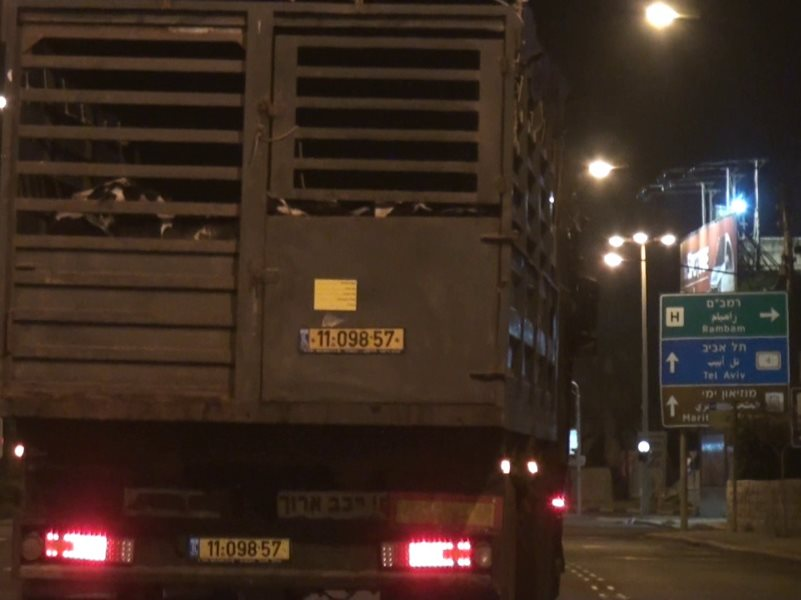 Young calves from the EU have been loaded onto the back of a livestock truck from the Phoenix 1 at Haifa port in Israel. Photo: AWF / CIWF / TSB.
