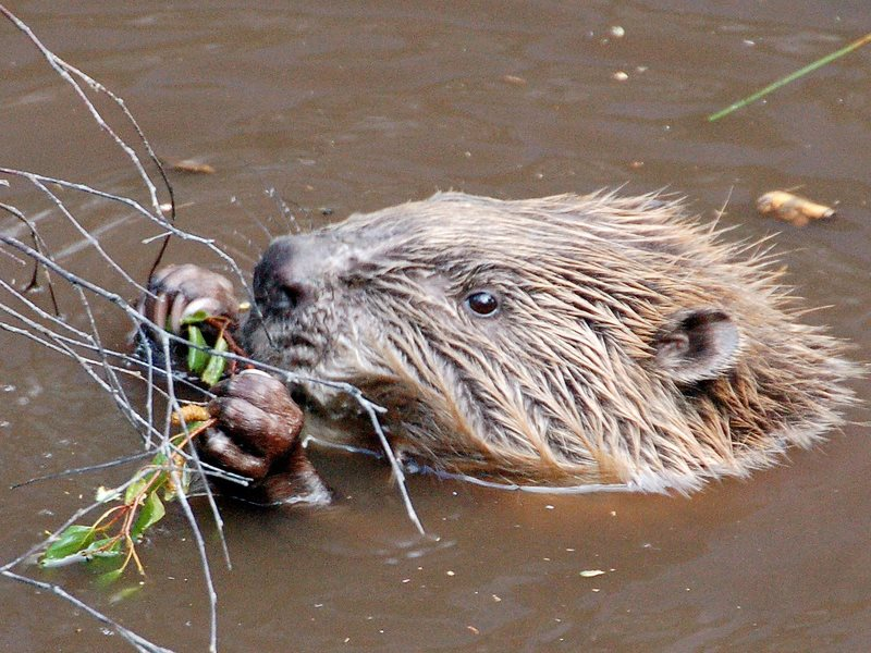 Reintroduced - a beaver in the Scottish Highlands is a great first step to restoring functioning, ecosystems. Photo: Paul Stevenson via Flickr (CC BY).