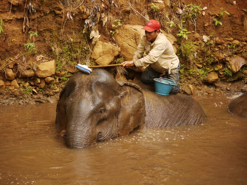 An elephant gets a bath and scrub from one of its carers at Elephant Valley. Photo: William F. Laurance.