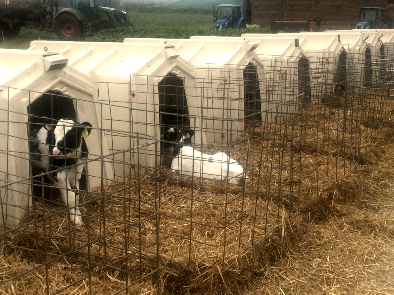 Calves in sheds at a UK mega-dairy. Photo: Andrew Wasley / Ecostorm.