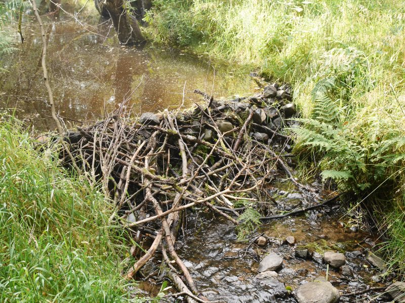 On a sidestream in the Tay Valley, a beaver dam built of stones and wood. Photo: Paul Ramsay.