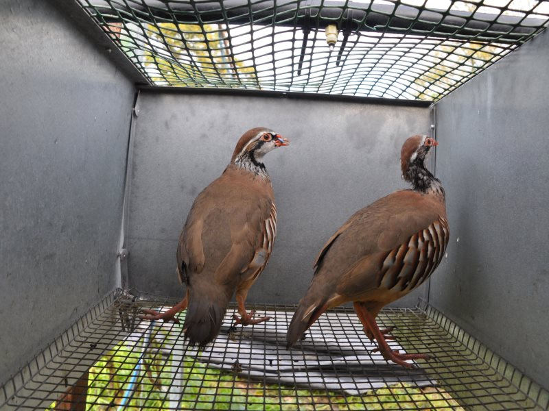 Heart of England partridges in their cage. Photo: League Against Cruel Sports.