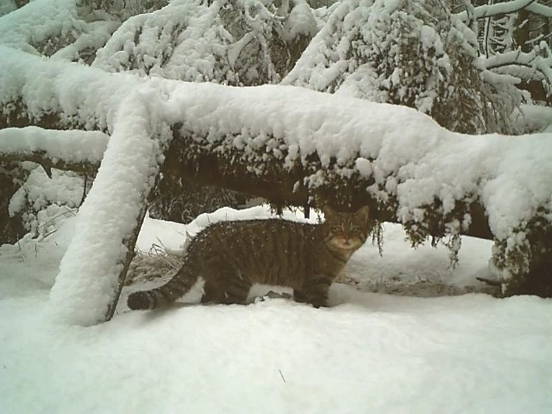 Young female wildcat hunting  in winter. Photo: Alan Ross.