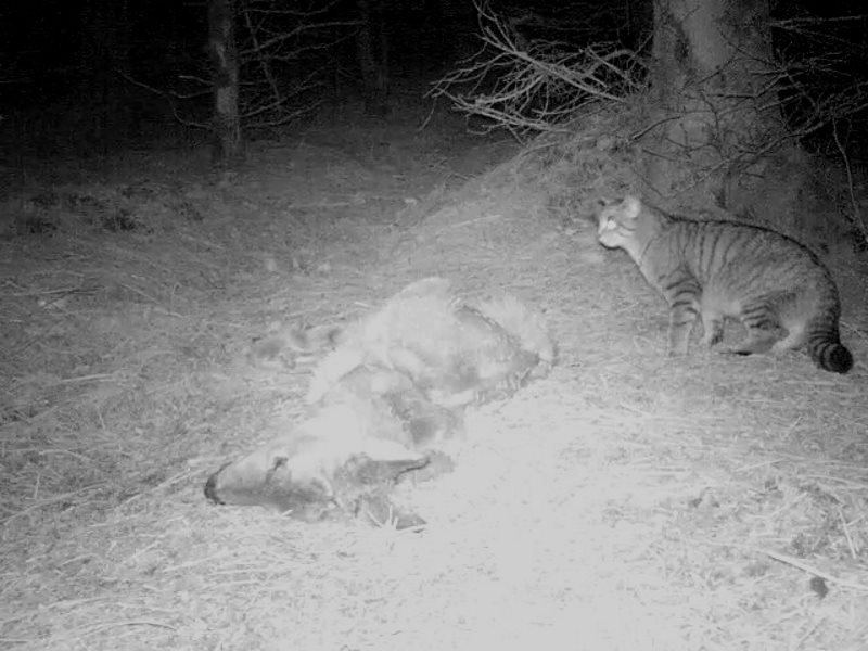 Young male wildcat investigating winter deer carrion. Photo: Alan Ross.