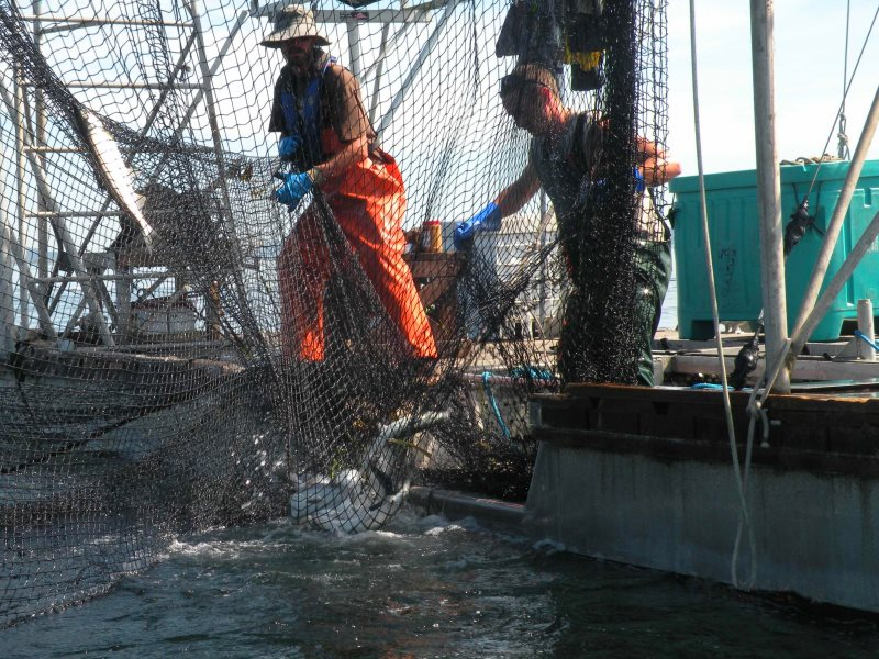Fishermen haul in the net to gather salmon in a corner pocket. Photo: K.M. Bailey.