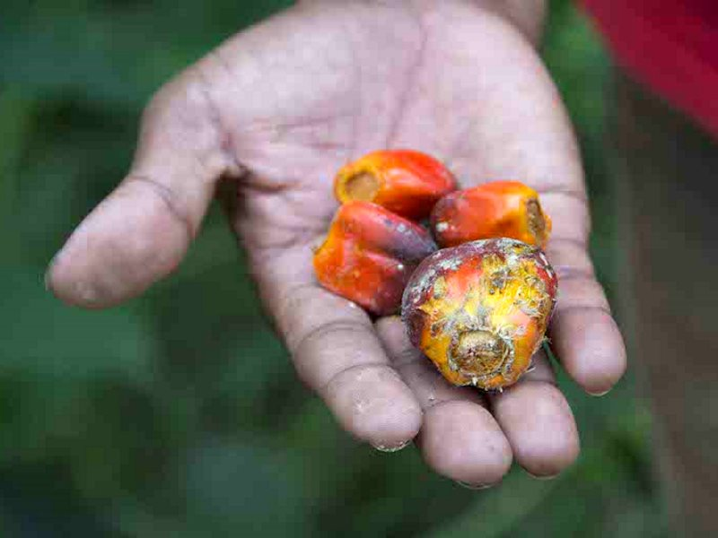 A tribal farmer shows the palm oil fruit in a plantation in central Palawan, Philippines. Oil is produced by pressing the fruit. Photo: Rod Harbinson.