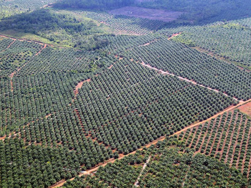 A large palm oil plantation in southern Palawan. Photo: Anonymous.