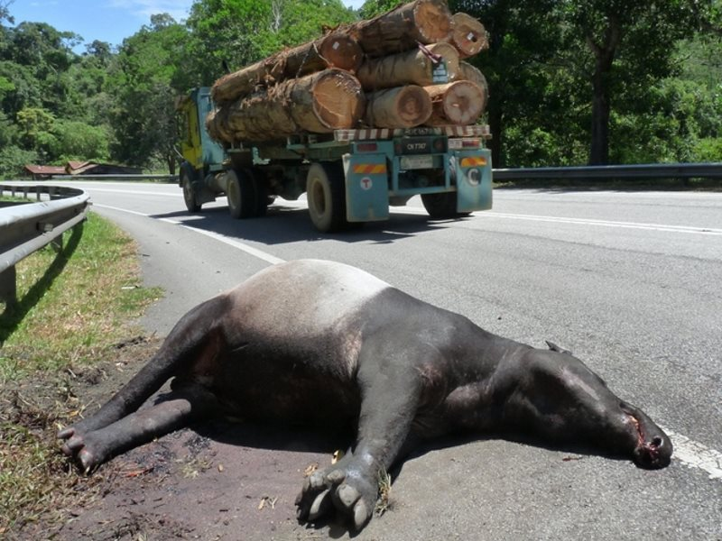 Most new roads will be built in developing nations. Here, a road-killed tapir in Peninsula Malaysia. Photo: © WWF-Malaysia / Lau Ching Fong.