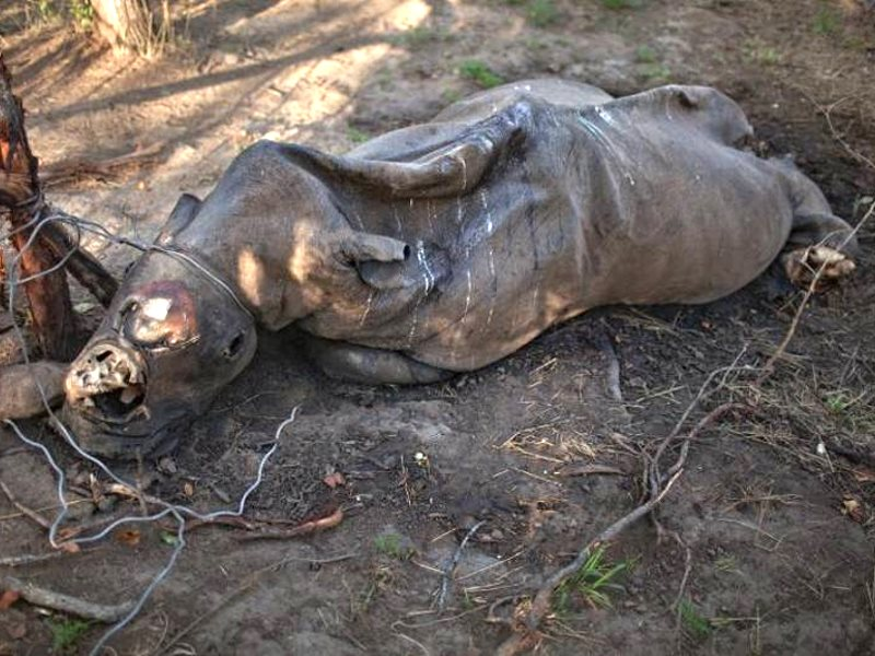 Poached snared rhino. Photo: Black Mamba APU.