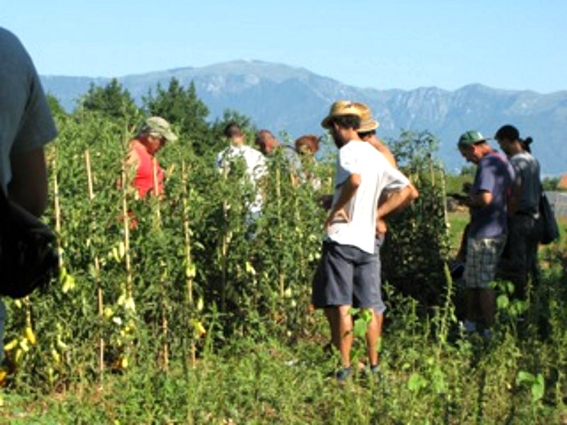 Tomato farmers join in participatory breeding, Italy. Photo: Salvatore Ceccarelli.