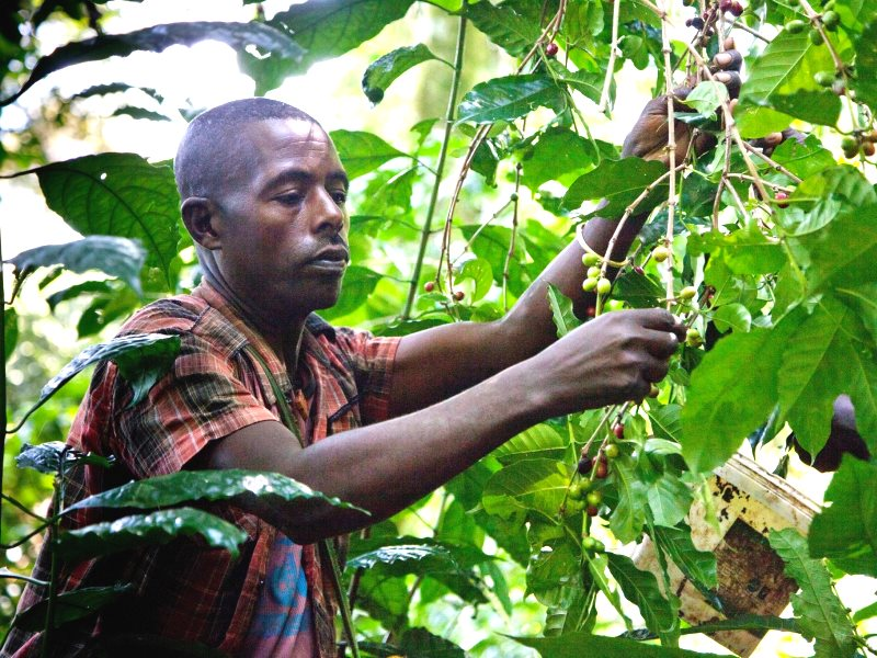 Tariku Mengesha, a local co-operative worker, harvests ripe wild coffee cherries. Photo: Indrias Getachew.