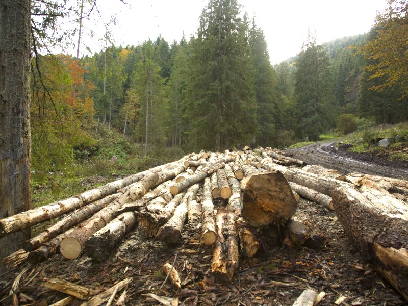 A pile of timber waiting for collection by truck in Harghita County. Although seen in area of illegal logging, we don't know whether this is, in fact, illegal wood. Photo: Ecostorm.