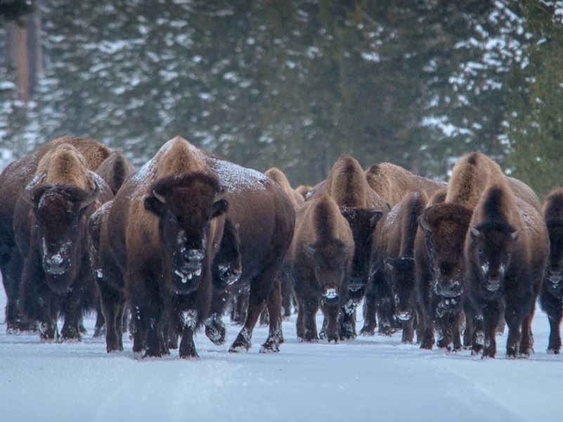 A herd of Yellowstone bison in the snow. Photo: Charles (Chuck) Peterson via Flickr (CC BY-NC-ND)