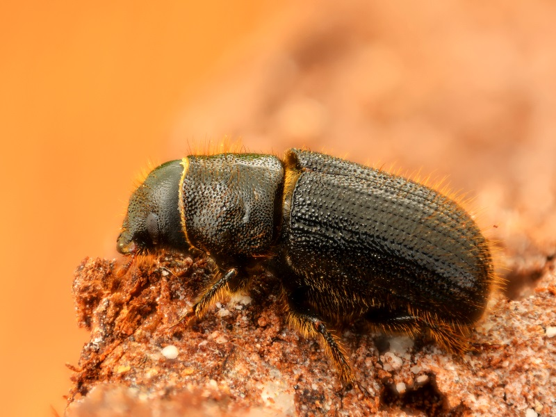 European spruce bark beetle (Dendroctonus micans) - this miniscule beetle is capable of doing a significant amount of damage when left to run rampant. Photo: Gilles san Martin via Flickr (CC BY-SA)