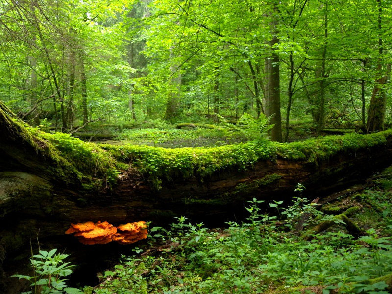 Białowieza forest: A picture of tranquility. Photo: Frank Vassen via Flickr (CC BY)