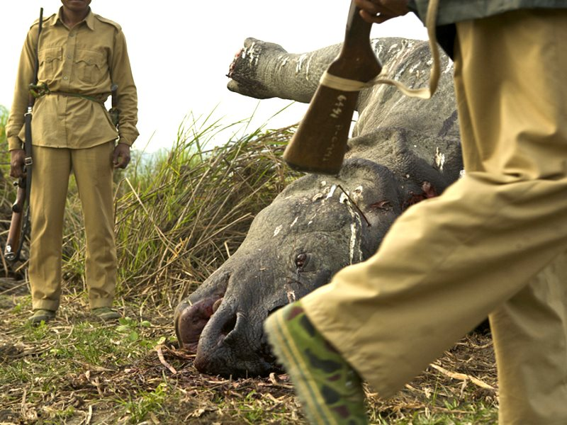The poaching problems at Kaziranga are all too real. Here park rangers inspect the scene of a crime: the night before, poachers killed this Indian one-horned rhino and sawed off its horn to sell on the black market for use in traditional Chinese medicine.