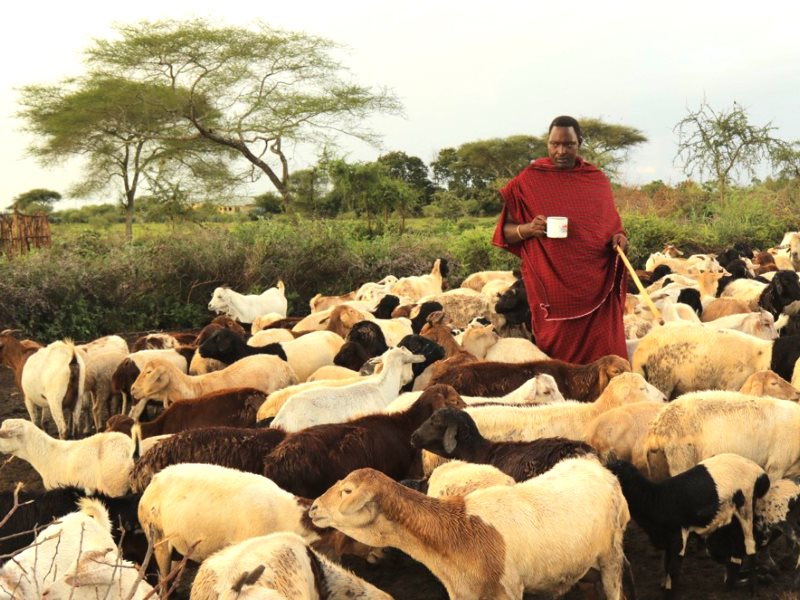 Maasai communities move their herds according to the seasons, taking care not to overgraze the land and share resources with the wildebeest, gazelles, impalas, and other animals that keep the ecosystem in balance. Photo: Goldman Environmental Prize.