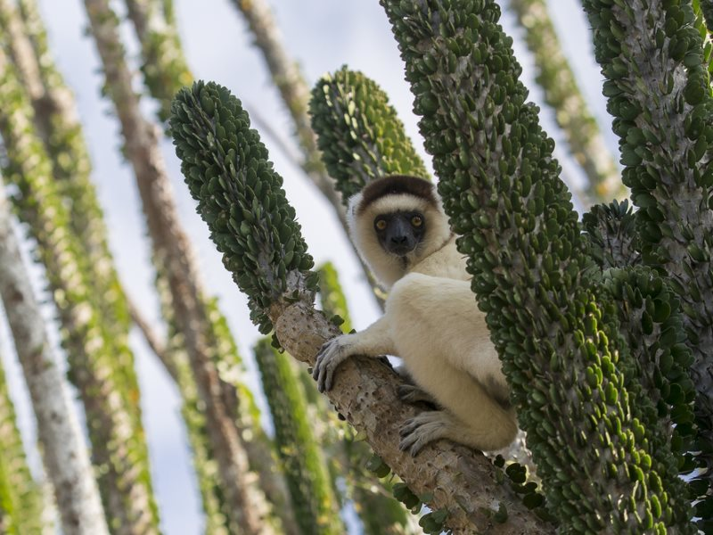 This lemur is perfectly at home among the prickly stems of the vegetation that makes up the Spiny Forest. Photo: Louise Jasper (louisejasper.zenfolio.com).