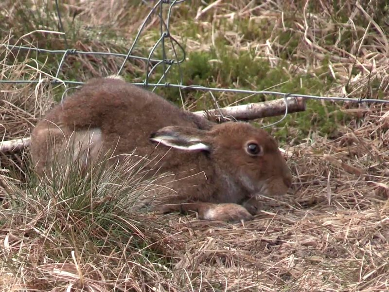 Hare caught in a snare by its hind legs. Photo: League Against Cruel Sports.