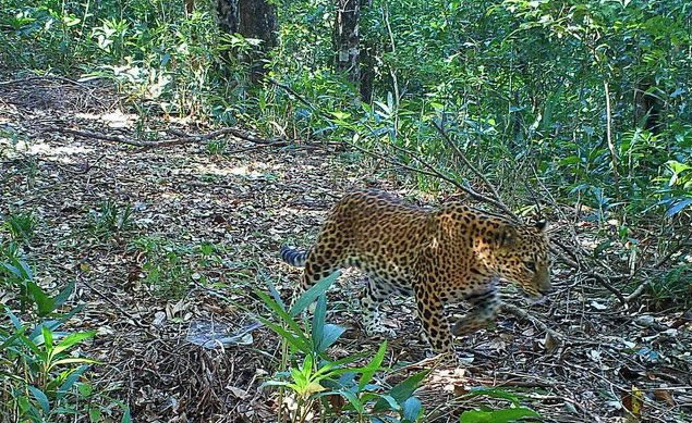 Leopard in camera trap in the area of the proposed 'Karen Peace Park'. Photo: Kesan Media