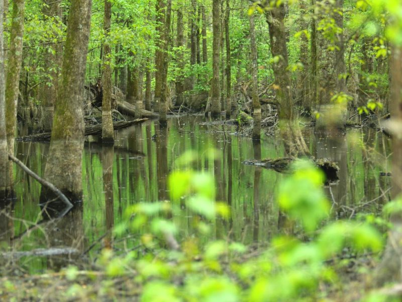 A bottomland hardwood forest in North Carolina - typical of those clearcut for wood pellets. Photo: Matt Adam Williams.