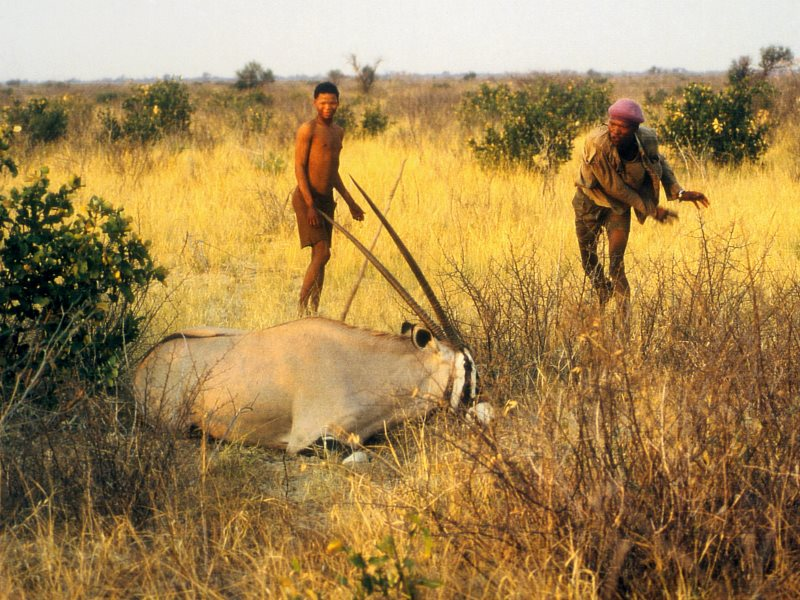 Botswana has criminalized the Bushmen for subsistence hunting with spears. Photo: Survival International.