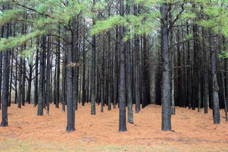 Lolbolly pine (Pinus taeda) plantation in the southern USA. Photo: USDA Natural Resources Conservation Service via Wikimedia Commons (CC BY).